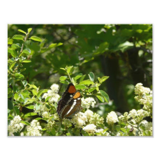 California Sister Butterfly Photo Print
