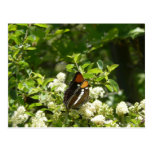 California Sister Butterfly Postcard