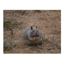 California Spotted Ground Squirrel Postcard