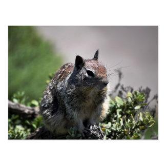 California Squirrel Postcard