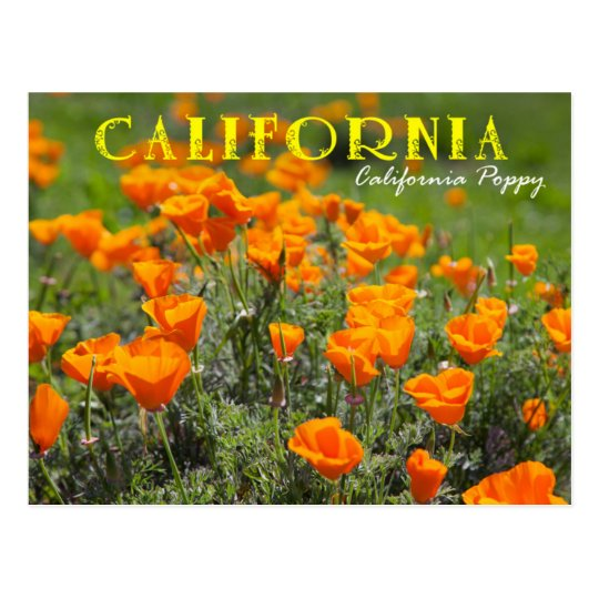 California state flower california poppy postcard zazzle california state flower california poppy postcard mightylinksfo