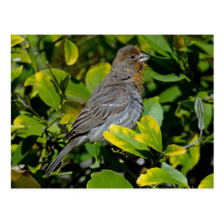 California Towhee Postcard