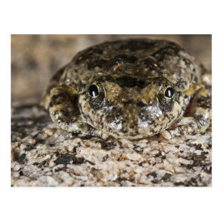 California tree frog,(Pseudacris cadaverina), Postcard