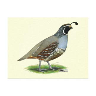 California Valley Quail Canvas Print