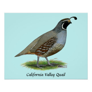 California Valley Quail Poster
