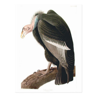 California Vulture (Condor), Audubon Fine Art Postcard