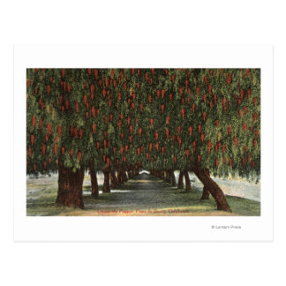 CaliforniaGroves of Pepper Trees Postcard