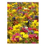 Californian Poppies Postcard