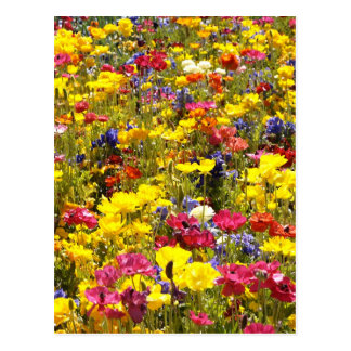 Californian Poppies Postcard