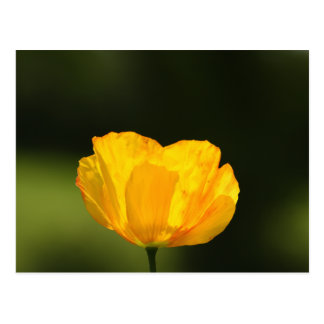 Californian Poppy Postcard