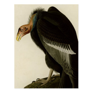 Californian Vulture Postcard