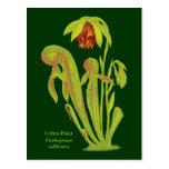 Californica del Darlingtonia, planta carnívora Postal