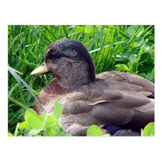 Call Duck Drake Postcard