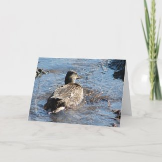 Call Duck Hen Playing in Flooded Field card