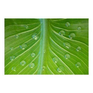 Calla leaf with dew drops close-up posters