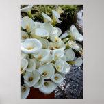 Calla Lilies growing at  Lily Plantation, Taiwan Poster