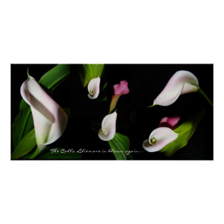 Calla Lily Flowers Photography V Print