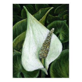 calla palustris postcard