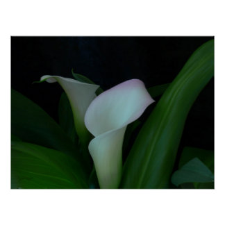 calli lily - Poster