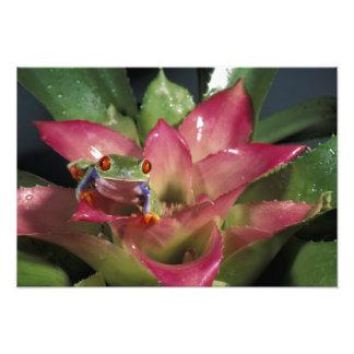 callidryas Rojo-observados de Agalychnis de la ran Fotografía