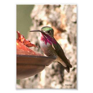 Calliope Hummingbird Photo Print