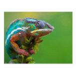 Camaleón colorido tarjetas postales
