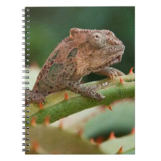 Camaleón enano (Brookesia Exarmata), bahía de Libros De Apuntes