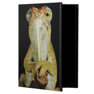 Camaleón Jewelled, o el camaleón de Campan