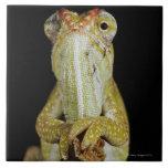 Camaleón Jewelled, o el camaleón de Campan Azulejos