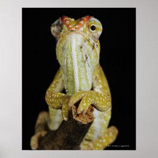 Camaleón Jewelled, o el camaleón de Campan Poster