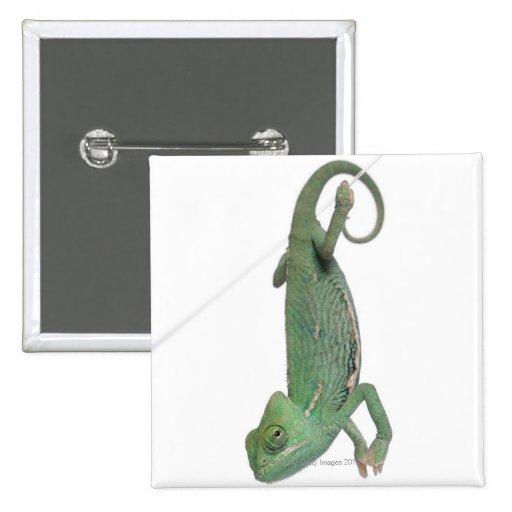 Camaleón velado joven, calyptratus del Chamaeleo Pins