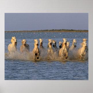 Camargue Horse (Equus caballus) Poster