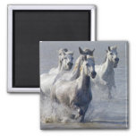 Camargue horses running on marshland to cross 2 inch square magnet