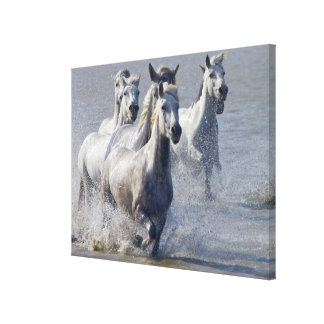 Camargue horses running on marshland to cross canvas print