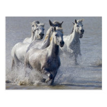 Camargue horses running on marshland to cross postcard