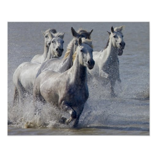 Camargue horses running on marshland to cross posters