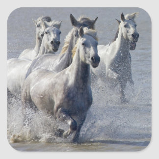 Camargue horses running on marshland to cross square sticker