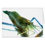 camarón tarjetas