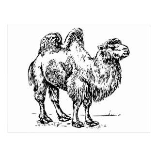Camel 1 postcard