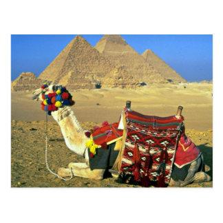 Camel and pyramids, Cairo, Egypt Postcard