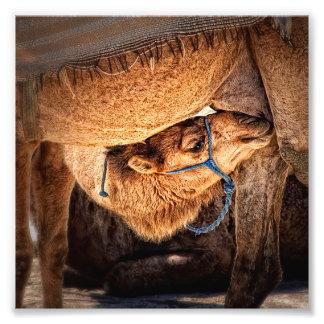 Camel Baby Photo Print