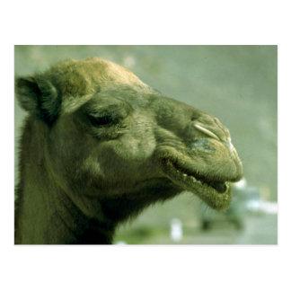 Camel face postcard