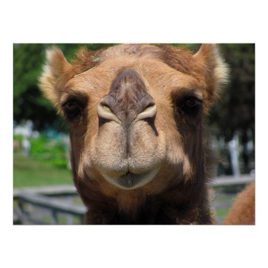 Camel Face Poster