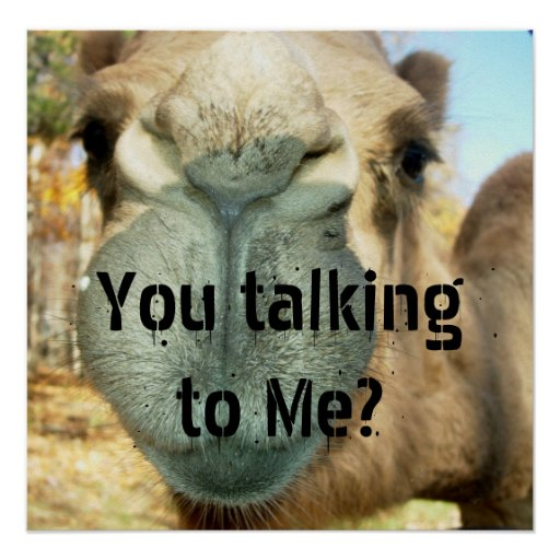camel face you talking to me poster zazzle. Black Bedroom Furniture Sets. Home Design Ideas