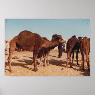 Camel Fair Poster at Zazzle
