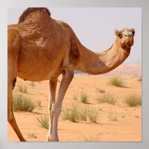 Camel for Arabs Poster Print