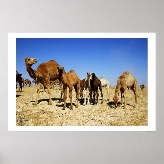 Camel herd poster