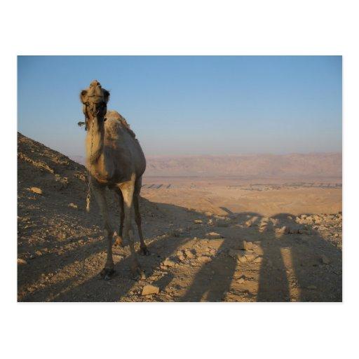 Camel in Desert - Customized Postcard
