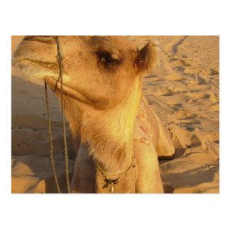 Camel in Desert Postcard