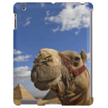 Camel in front of the pyramids of Giza, Egypt,